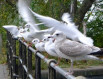 Gulls on railings